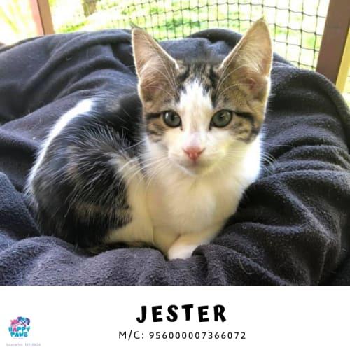 Jester - Domestic Short Hair Cat