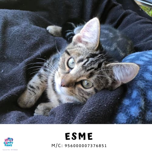 Esme - Domestic Short Hair Cat