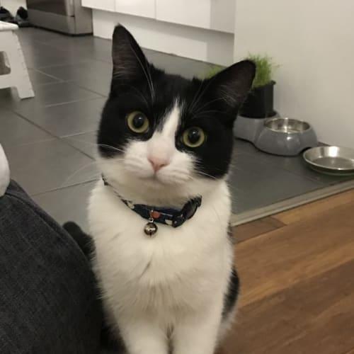 Regina - Domestic Short Hair Cat