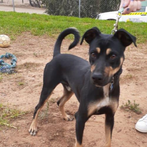 Sunny - Kelpie x Cross breed Dog