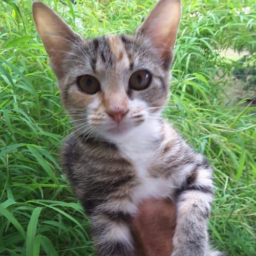 Tippee - Domestic Short Hair Cat