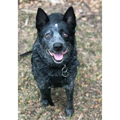 Maddie ~ beautiful 7yo Blue Cattledog - Australian Cattle Dog