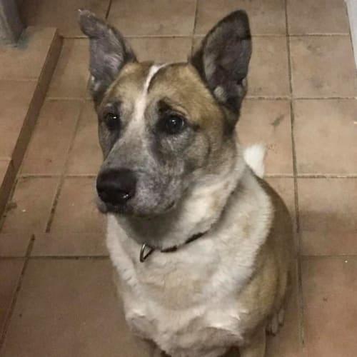 Cooper - Mastiff Dog
