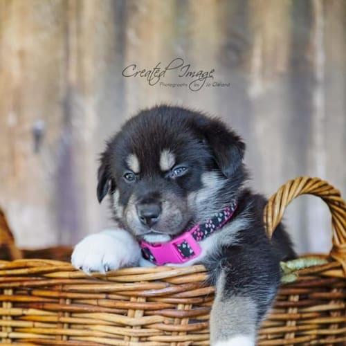 Aria - Husky Dog
