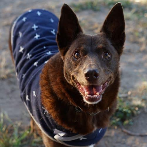 Jeda - Kelpie Dog