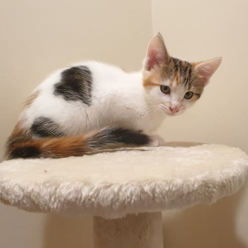 2986 - Jem - Domestic Short Hair Cat