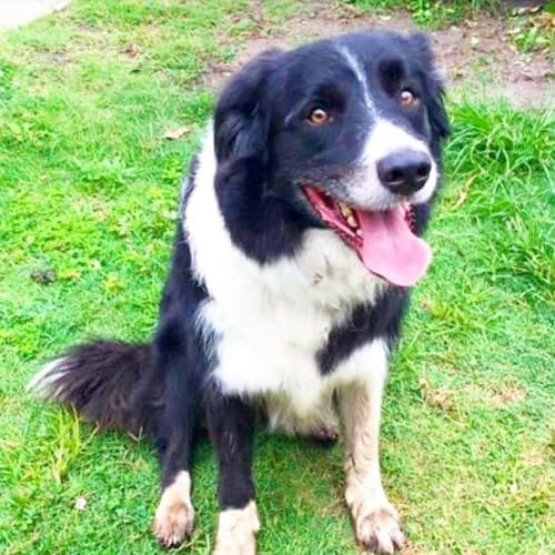 Samson - Border Collie Dog