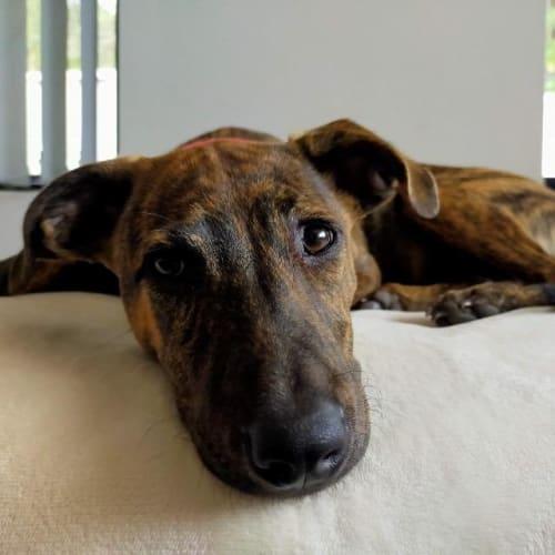 Nova - Mixed Breed Dog