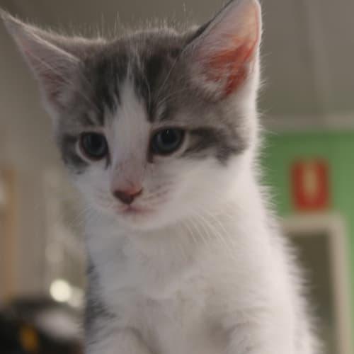 Carl - Domestic Short Hair Cat