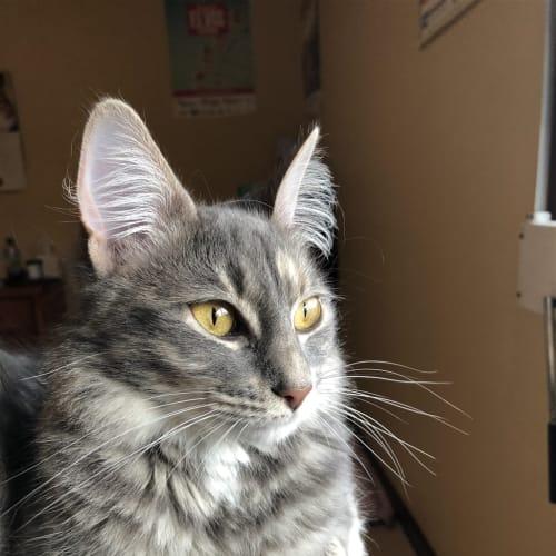 Kira - Domestic Short Hair Cat