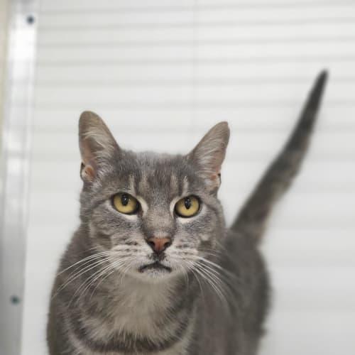 Alfred - Domestic Short Hair Cat