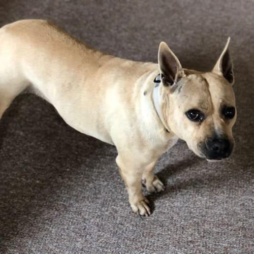 Honey - Staffordshire Terrier Dog