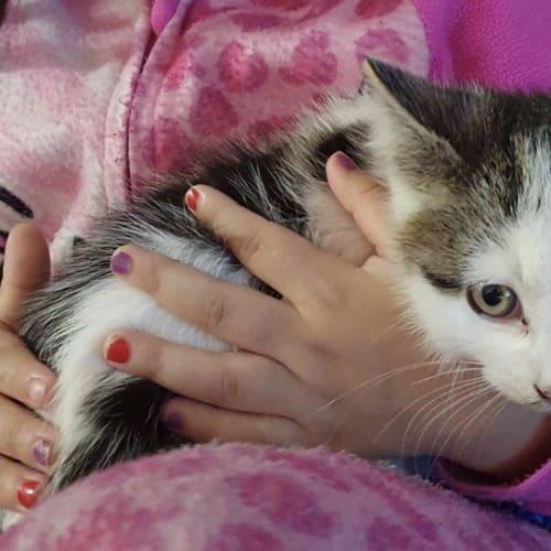 Mallory  - Domestic Short Hair Cat