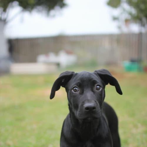Hopper - Staffy x Kelpie Dog
