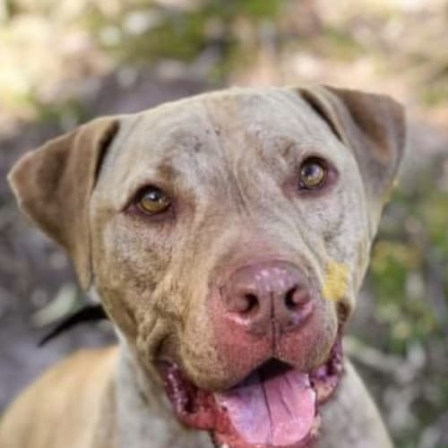 Jack ~loving 3yo American Staffy - American Staffordshire Terrier Dog