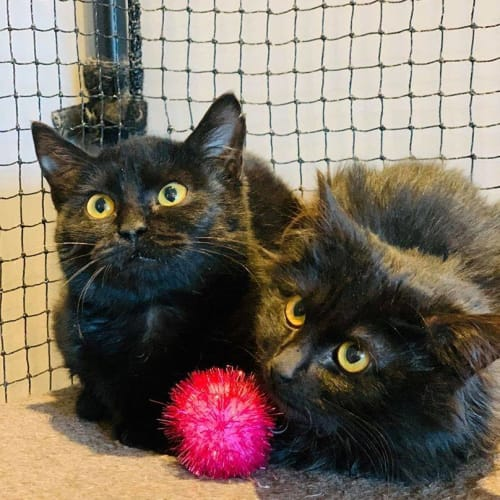 3127/3128 - Scarlett & Sabrina - Domestic Medium Hair Cat