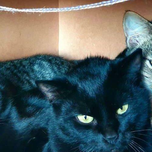 2953 - Penny - Domestic Short Hair Cat