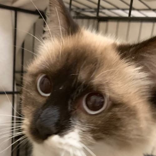Isobel - Ragdoll Cat