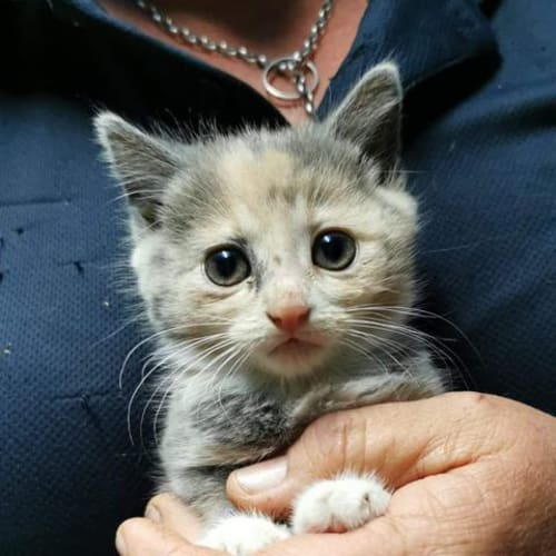 Heavenly - Domestic Short Hair Cat