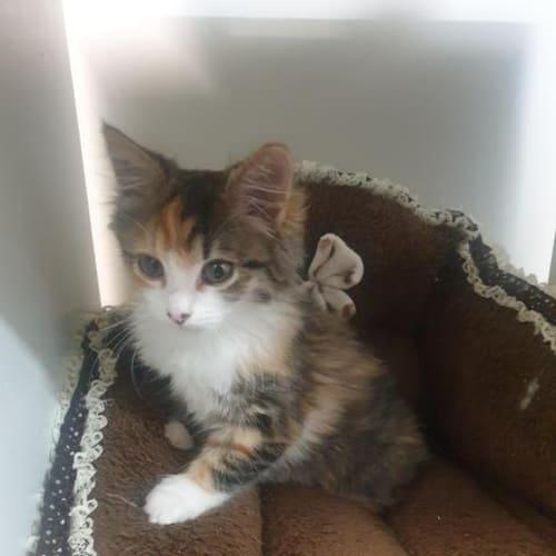 Izabella - Domestic Short Hair Cat