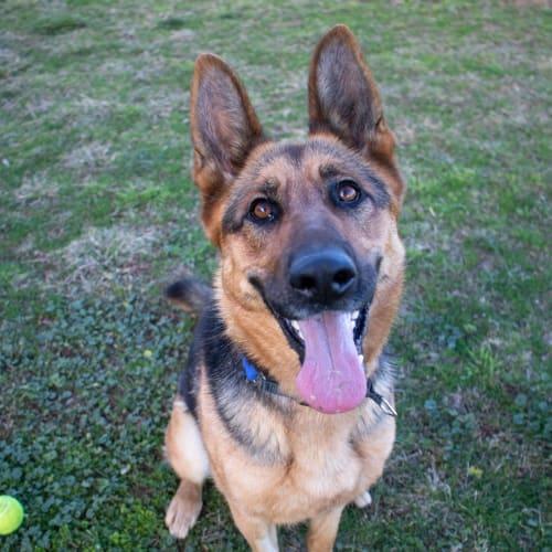 Pepper - German Shepherd Dog