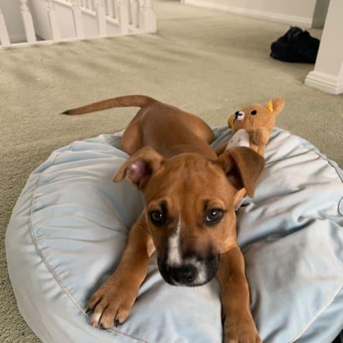 Lulu our pretty puppy - Rhodesian Ridgeback Dog