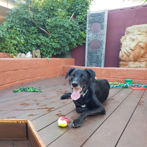 Zeus DL2448 - Greyhound x Border Collie Dog