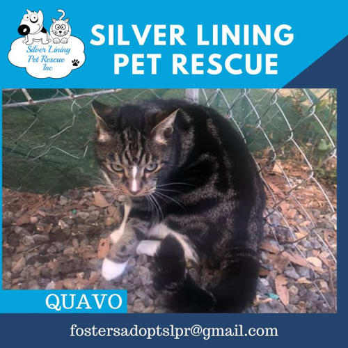 Quavo - Domestic Short Hair Cat
