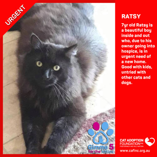 Ratsy - Domestic Medium Hair Cat