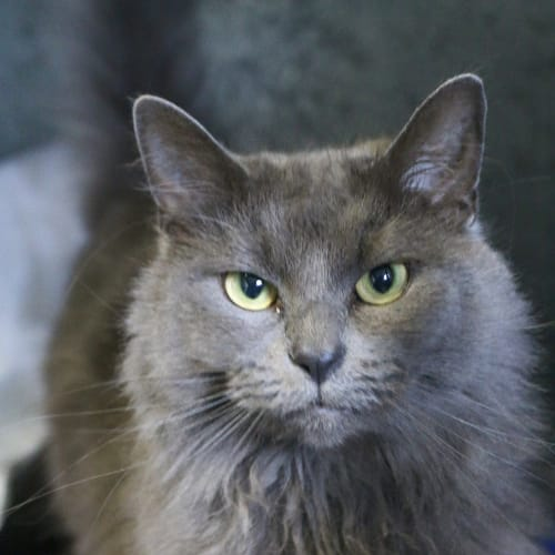 Minti - Domestic Medium Hair Cat