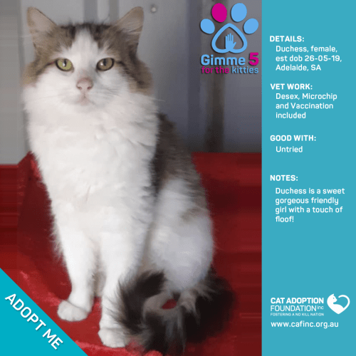 Gypsy - Domestic Medium Hair Cat