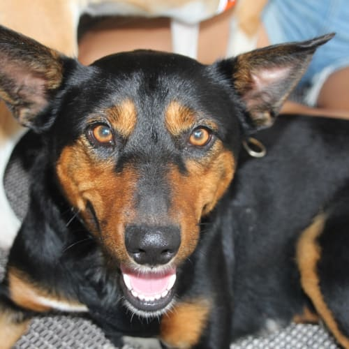 Stella - Kelpie Dog