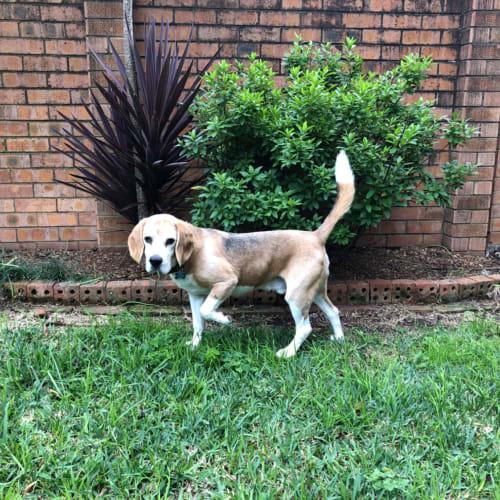 Bootsy ** A Divine Prince ** - Beagle Dog