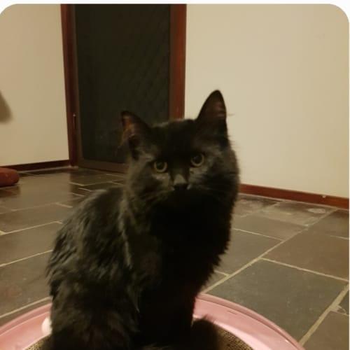 Berry - Domestic Medium Hair Cat