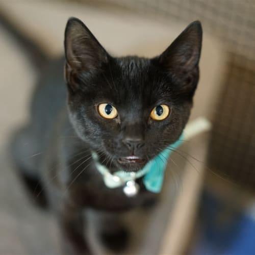 Walter - Domestic Short Hair Cat