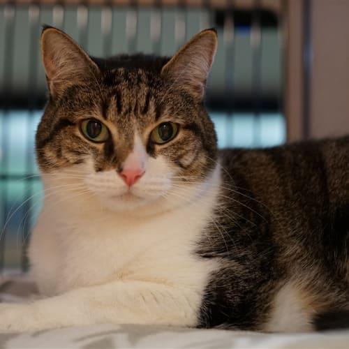 Trudy - Domestic Short Hair Cat