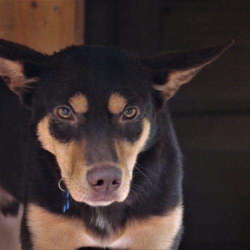 Alfie - Kelpie Dog