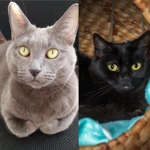 3188/3189 – Audrey & Millie - Domestic Short Hair Cat