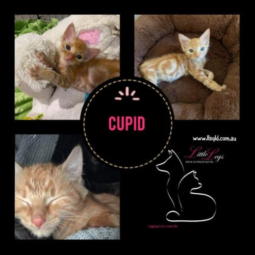 Cupid - Domestic Medium Hair Cat
