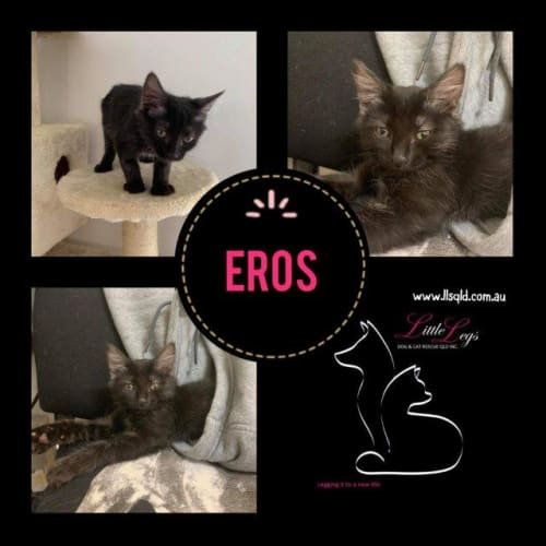 Eros - Domestic Medium Hair Cat