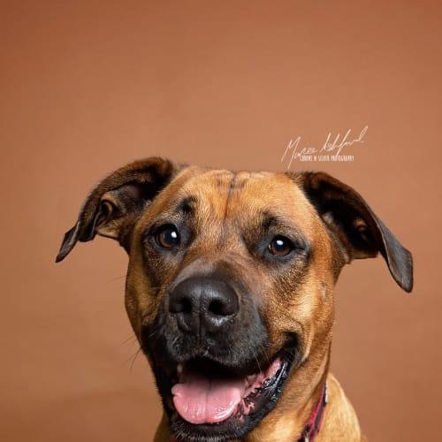 Tequilla - Staffy Dog