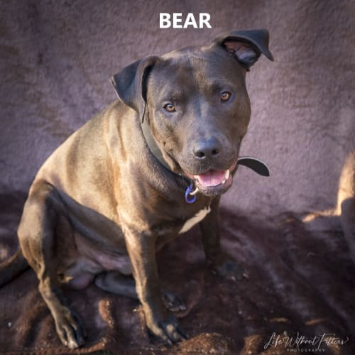 Bear - Mastiff x Labrador Dog