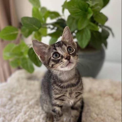 Wilbur - Domestic Short Hair Cat