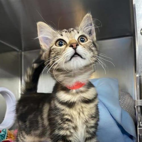 Arno - Domestic Medium Hair Cat