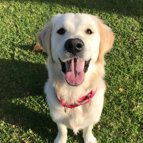 Poppy - Golden Retriever Dog