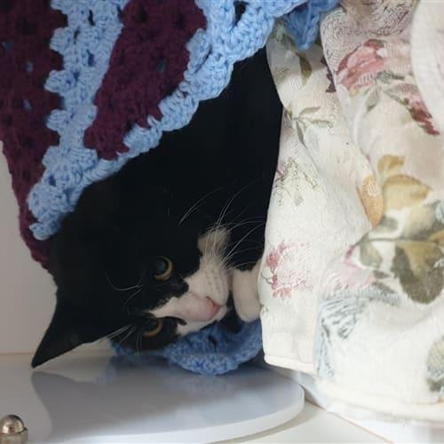 Oak - Domestic Short Hair Cat