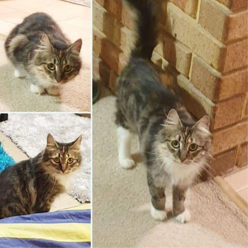 2705 - Tallulah - Domestic Medium Hair Cat