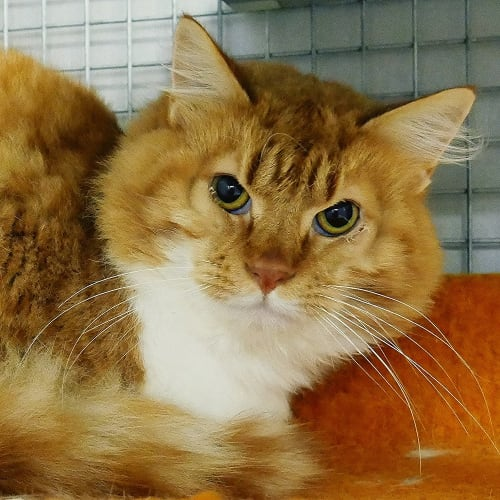 Bob STA005176 - Domestic Medium Hair Cat