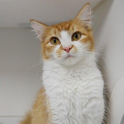 Nala SUA005263 - Domestic Medium Hair Cat