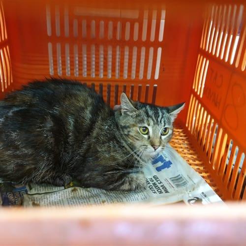 Vilthuril - Domestic Short Hair Cat